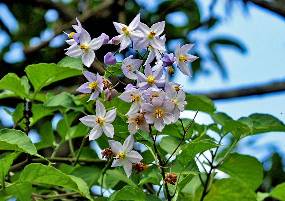 Solanum crispum white and purple flowers