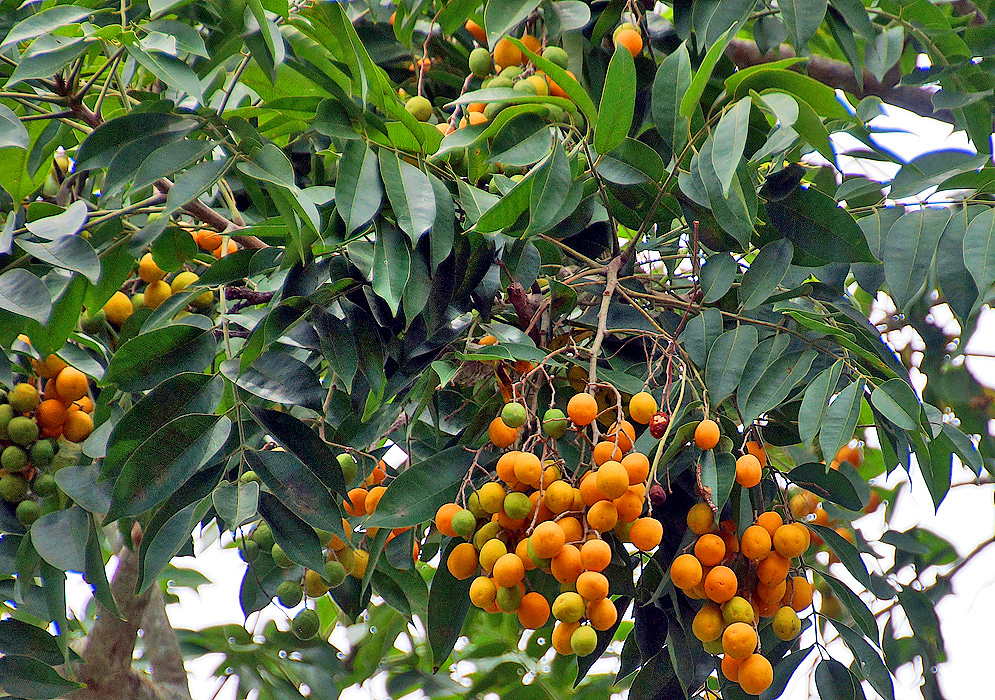 Clusters of orange Spondias mombin fruit on the tree