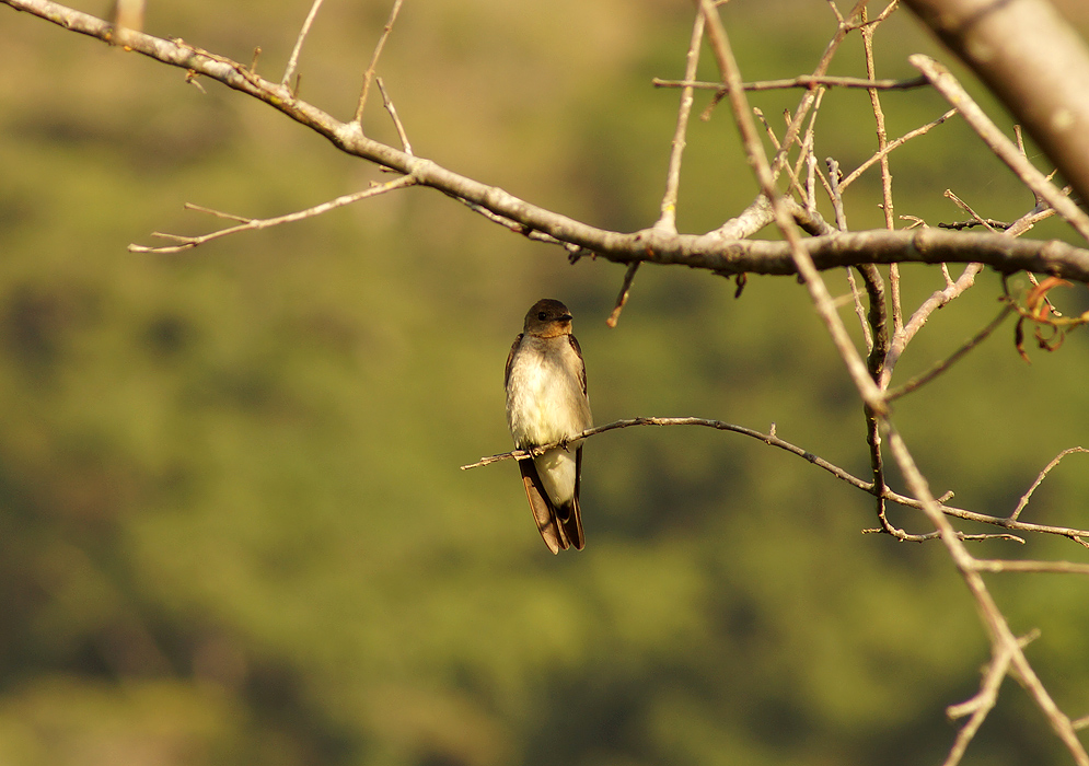 White-chested Southern Rough-winged Swallow on a tree branch