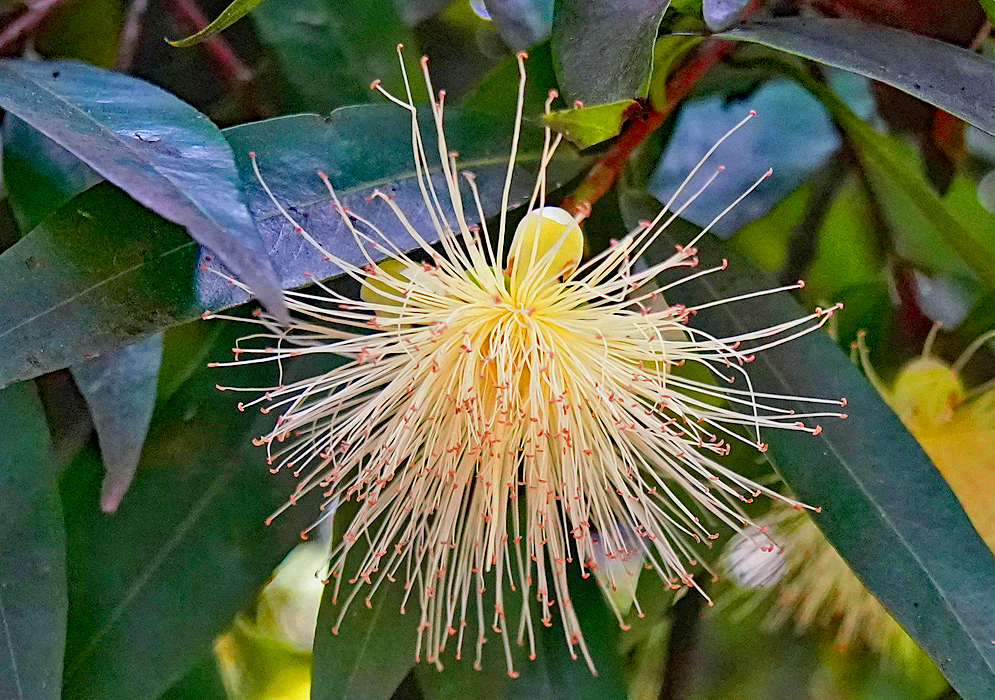 Cream-colored Syzygium jambos flower with long filaments and light brown anthers