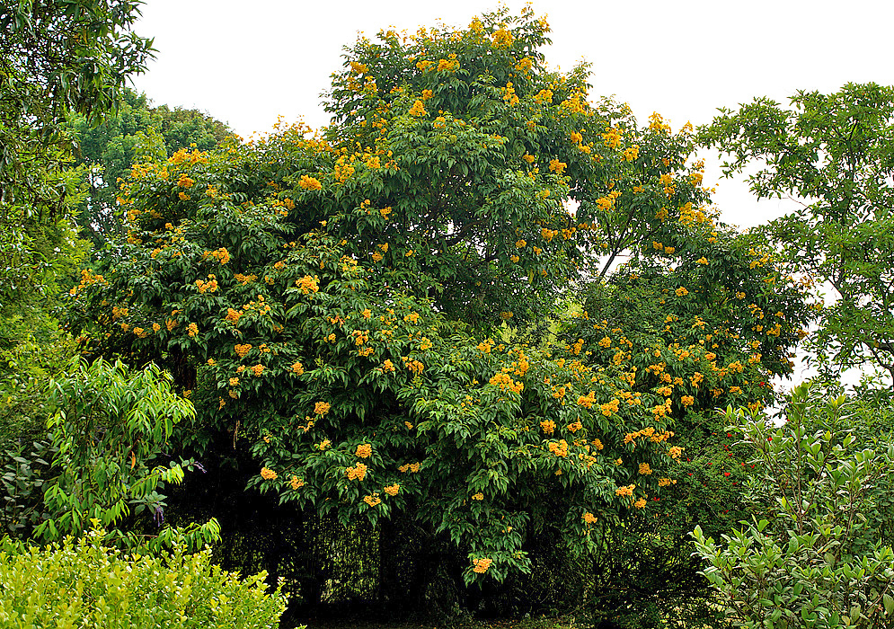 A yellow flowering Tecoma stans tree under cloudy skies