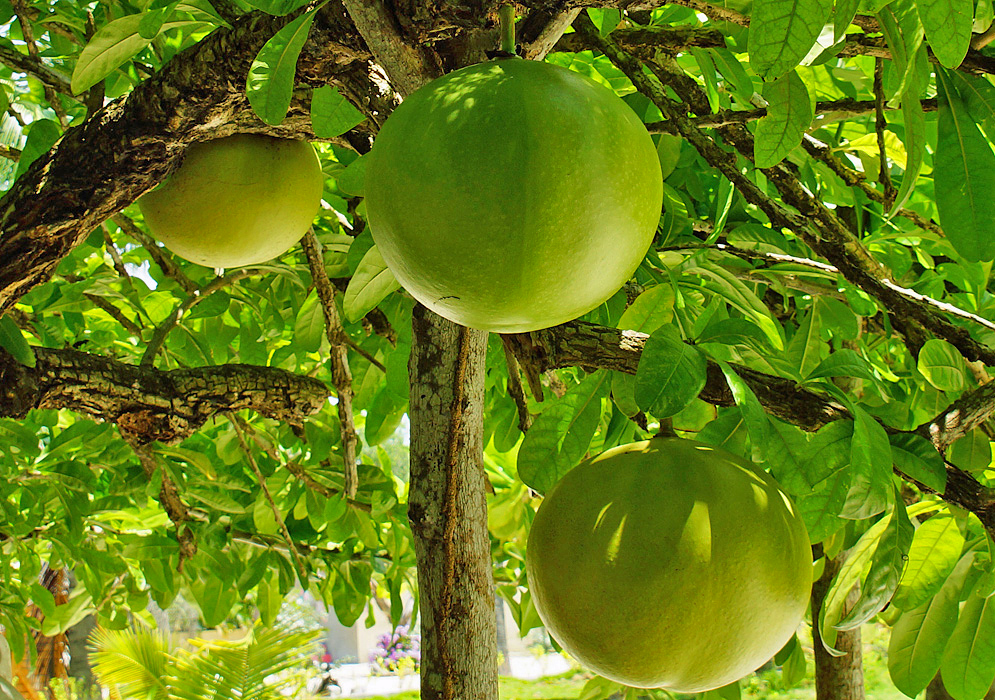 Large round green Cresentia cujete fruits