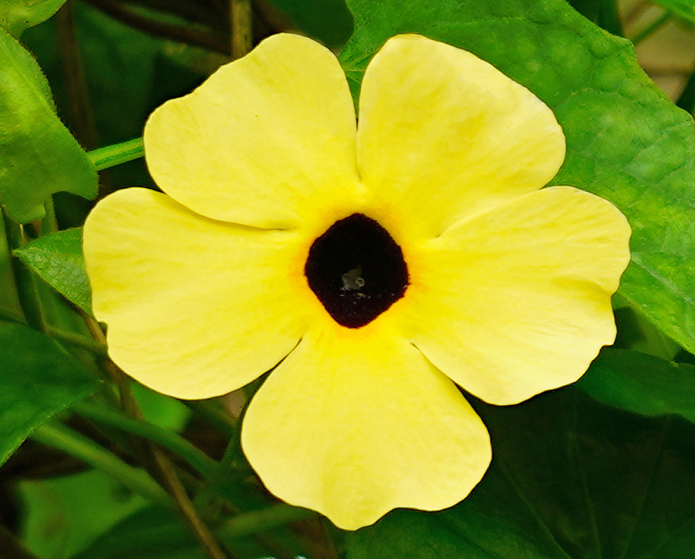 Thunbergia alata yellow flower with a dark center