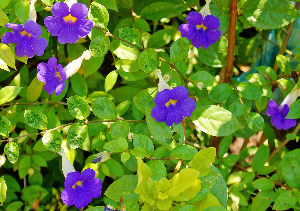 Thunbergia erecta shrub with purple flowers
