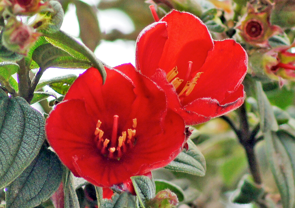 Two dark red Tibouchina grossa flowers under cloud cover