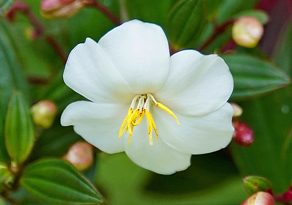 A white Tibouchina lepidota alba flower facing down with bright yellow anthers and white filaments