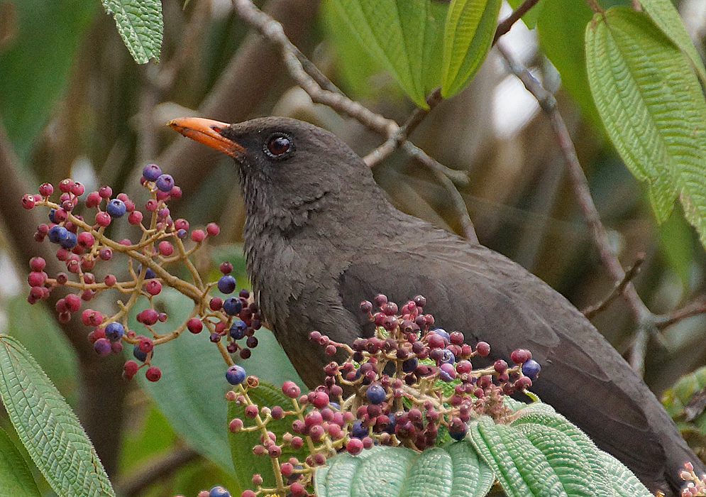 A black Turdus fuscater on the top of a tree branch