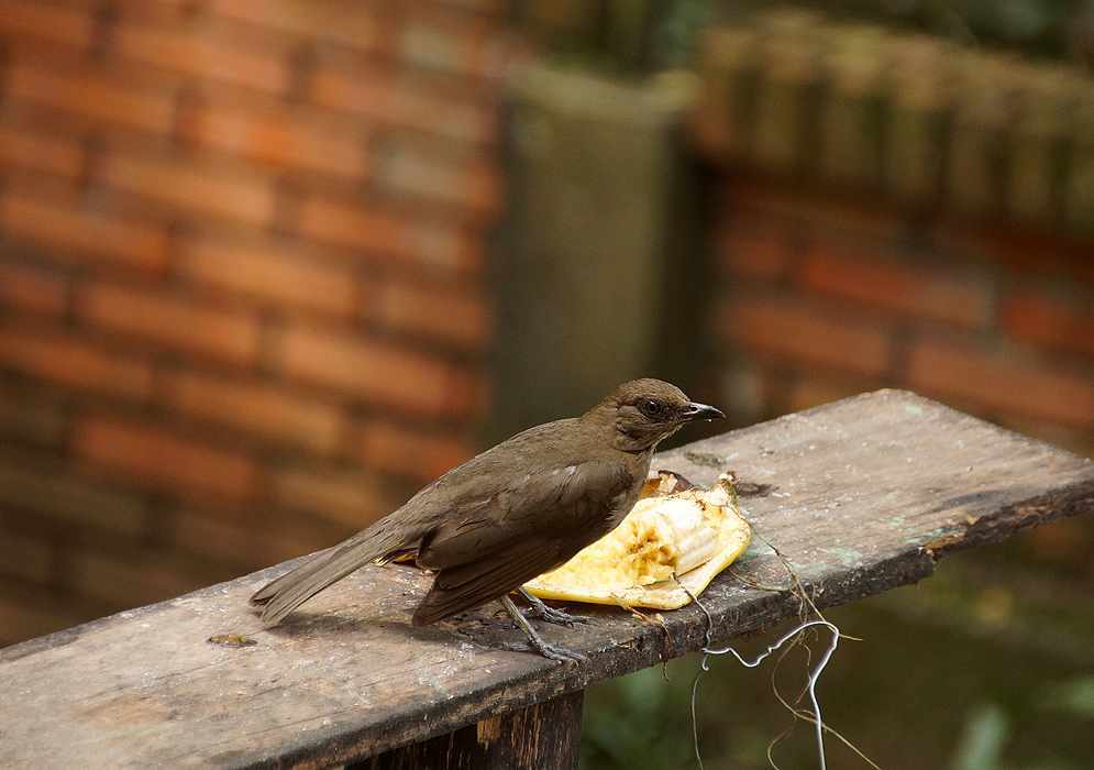 Turdus ignobilis eating banana