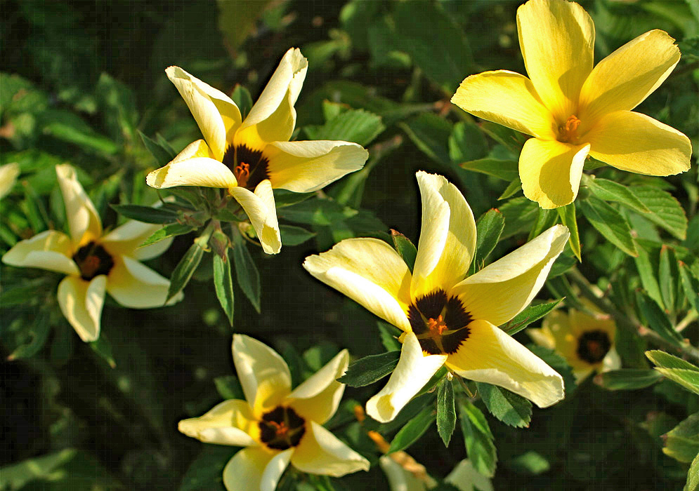 Yellow Turnera ulmifolia flowers with a black-colored center and orange anthers