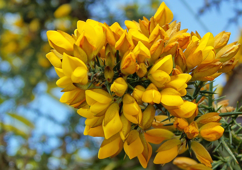The tip of Ulex europaeus branch with a congestion of bright yellow flowers