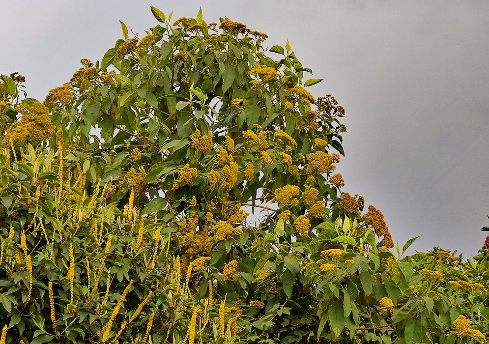 A Verbesina crassiramea tree with yellow flowers next to a Abatia parviflora tree with yellow flower under cloudy skies
