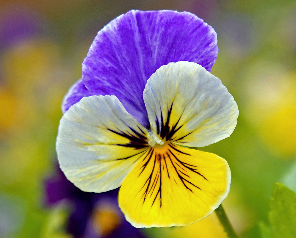 Yellow and blue Viola tricolor flower