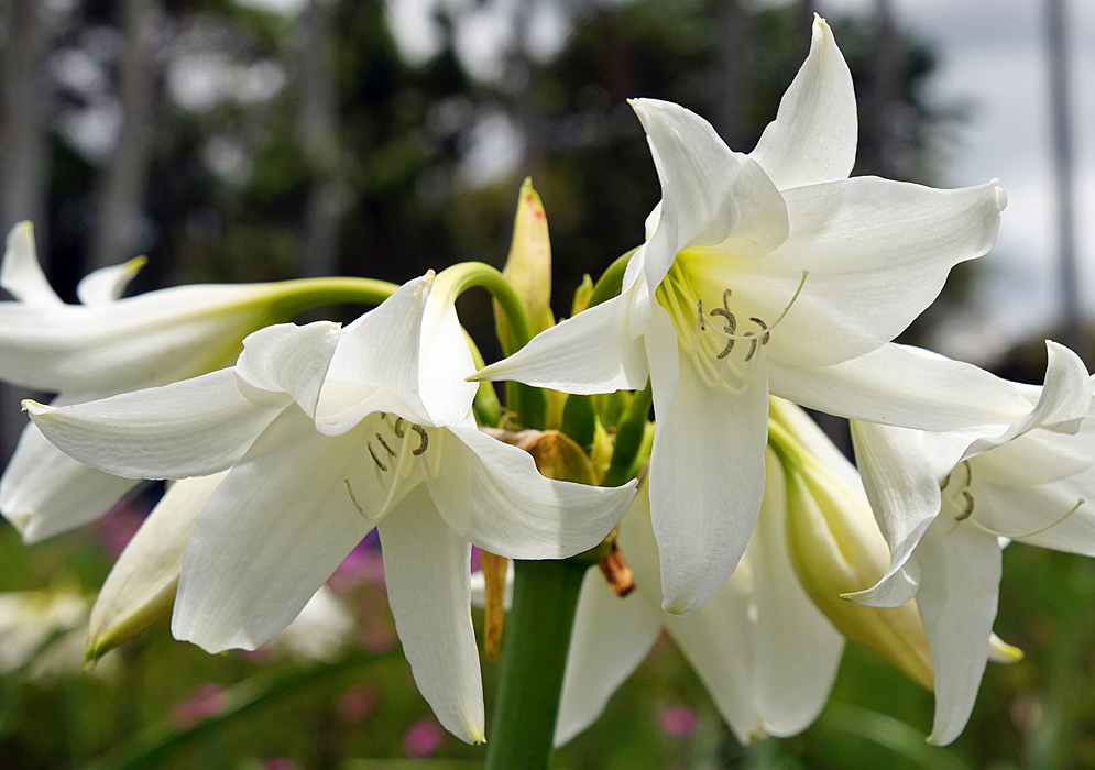 A white Crinum powellii flowers with a green-yellow throats