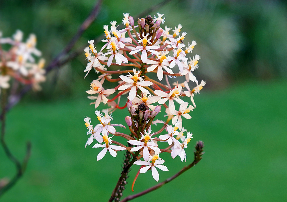 A cluster of white Epidendrum arachnoglossum flowers with yellow lips