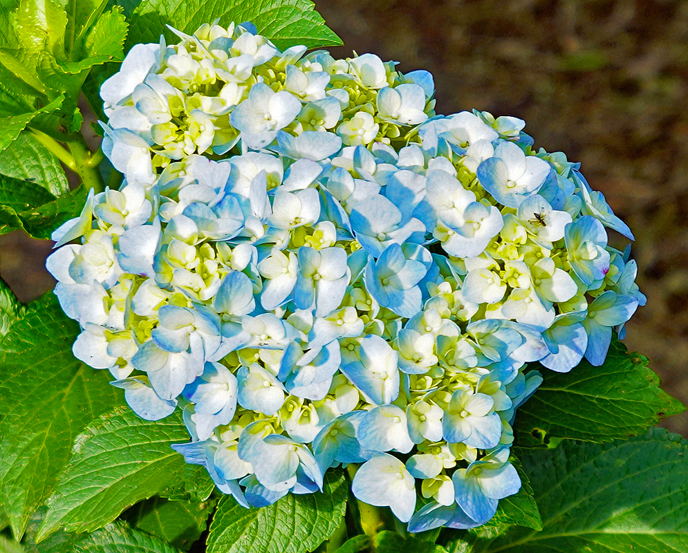 Hydrangea macrophylla cluster with blue, white and yellow flowers in sunlight