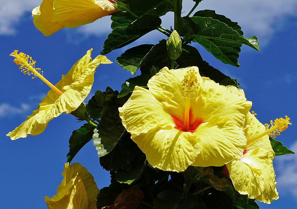 Bright yellow Hibiscus rosa sinensis flowers under blue skies